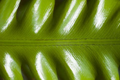 Curly green Fern Leaf from close up Stock Photos
