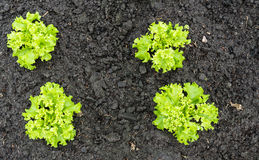 Curly green leaf lettuce plants in the soil Royalty Free Stock Photos