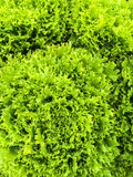 Curly green lettuce Royalty Free Stock Photos