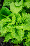 Curly green lettuce Royalty Free Stock Images