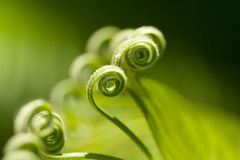Curly Green Palm Tree Fronds. These are curls on the end of a palm tree branch stock photography
