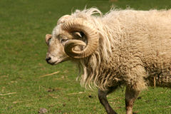 Curly horned sheep Stock Photos