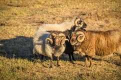 Curly Horned Sheep. Group of sheep with beards and curly horns in a pasture stock photo