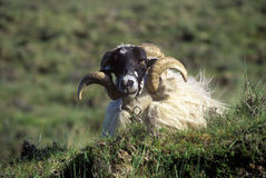 Curly horned sheep in Cork, Ireland Stock Image