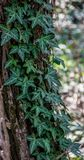 Curly ivy over tree trunk royalty free stock photos