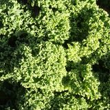 Curly Kale Royalty Free Stock Images