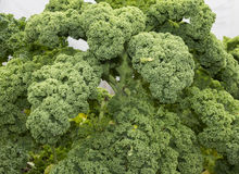 Curly kale or borecole vegetable Royalty Free Stock Photography