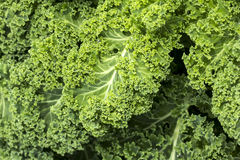 Curly Kale Stock Photography