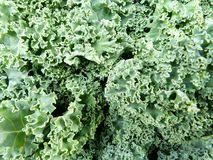 Curly kale. Folds and ripples of curly kale, the health food of the moment Royalty Free Stock Images