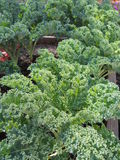 Curly Kale Garden Plants Royalty Free Stock Images