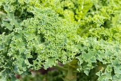 Curly kale leaf growing in organic garden royalty free stock images