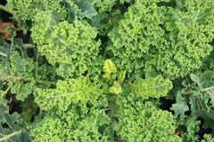 Curly Kale on the patch in the vegetable garden. Royalty Free Stock Photography