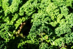 Curly kale plant Royalty Free Stock Photos