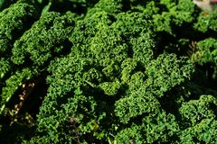 Curly kale plant Royalty Free Stock Images