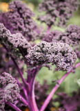 Curly Kale. Purple curly kale leaf detail Stock Photos