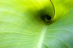 Curly leaf. This is a natural growth of banana leaf curl Royalty Free Stock Images