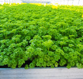 Curly leaf parsley in huge metal tray Stock Photography