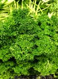 Curly leaf parsley Royalty Free Stock Photography
