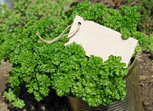 Curly leaf parsley Royalty Free Stock Image