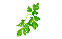 Curly Leaf Parsley sprig from the garden Stock Photos