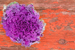 Curly-leaf purple kale on rustic grungy wood Stock Photography