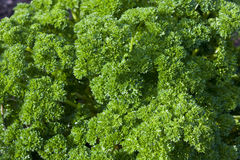 Curly Leafed Parsley Bunch. A tight bunch of Petroselinum crispum or curly leaf parsley.  This type of parsley is usually added just before serving for color and Stock Photo