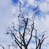 Curly leafless tree. Dry leafless tree with curly branches in the winter with sky in the backgroud royalty free stock photos