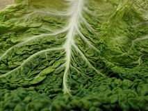 Curly leaves cabbage Stock Photo