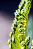 Curly Leaves of Cycas Revoluta Royalty Free Stock Image