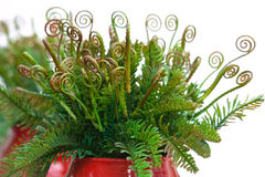Curly leaves of fern in red ceramic vase Stock Image