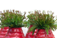 Curly leaves of fern in red ceramic vases Stock Photo