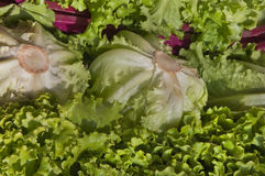 Curly Lettuce Royalty Free Stock Image