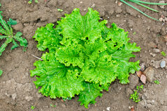 Curly Lettuce at the garden Royalty Free Stock Images