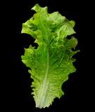 Curly lettuce salad Stock Photo