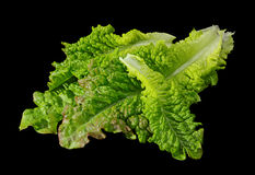 Curly lettuce salad Royalty Free Stock Images