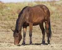Curly Mustang. Grazing on hay Royalty Free Stock Photography