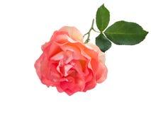 Curly orange rose isolated on white. Curly vibrant orange rose isolated on white royalty free stock image