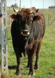 curly ox zdenerwowany Obrazy Stock