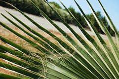 Curly Palm Royalty Free Stock Images