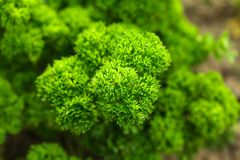 Curly parsley Royalty Free Stock Image