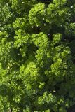 Curly parsley Stock Images