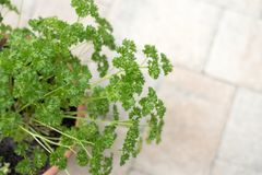 Curly parsley in a clay Pot. Curly parsley in a container garden. Herb garden on stone patio Royalty Free Stock Photo