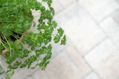 Curly parsley in a clay Pot. Curly parsley in a container garden. Herb garden on stone patio Stock Photography
