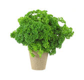 Curly parsley herb in peat pot Stock Images