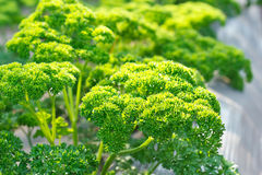 Curly parsley leaf. Stock Image