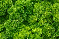Curly parsley leaves background in the garden stock photos