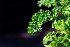Curly parsley leaves closeup in the garden. Aromatic background branch bunch cooking cuisine culinary dieting eating flavor food fresh freshness green group royalty free stock images