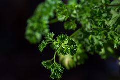 Curly parsley leaves closeup in the garden. Aromatic background bouquet bow bunch bundle cook cooking cuisine culinary diet flavor food fresh freshness garnish royalty free stock photo