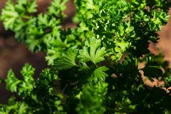 Curly parsley leaves closeup in the garden. Aromatic background bouquet bow bunch bundle cook cooking cuisine culinary diet flavor food fresh freshness garnish stock images