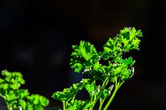 Curly parsley leaves closeup in the garden. Aromatic background branch bunch cooking cuisine culinary dieting eating flavor food fresh freshness green group stock image